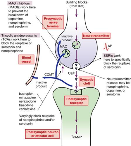 nursingbuddy.com-nursing-pharmacology-Sites-of-Action-for-Selected-Antidepressants