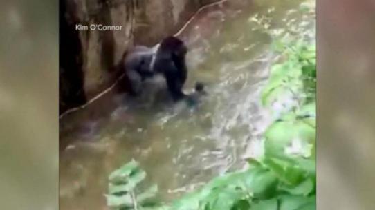 HT_gorilla_zoo_as
