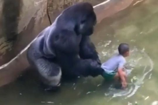 VID-Harambe-a-male-silverback-gorilla-at-Cincinnati-Zoo (1)