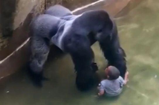 VID-Harambe-a-male-silverback-gorilla